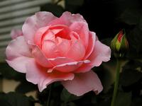 Pink Rose & Bud