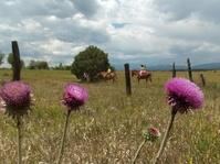 Colorado Thistles 1