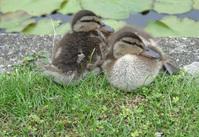 Cambridge's Duck