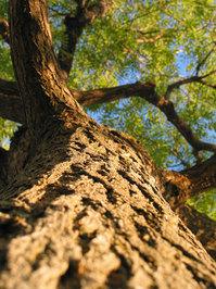 honey locust tree 02 2
