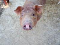 A pig - Say hi