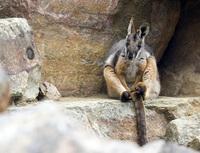 Kangaroos at Mt Lofty National Park