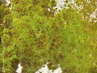 Moss 1