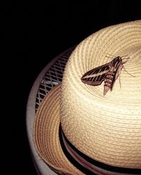 Moth, Straw Hat