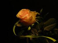 Rose in the dark 2