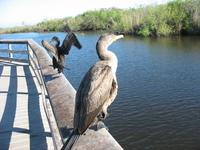 Funky Cormorants