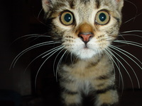 Kitten Muffin