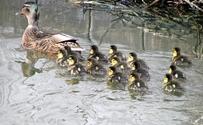 Little ducks 5