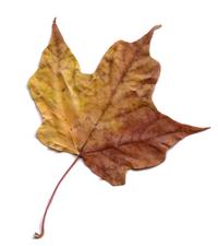 Maple Leaf Scanner Art 3