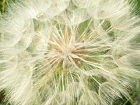 Parachutist plant