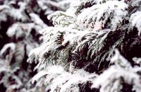 Winter Cedar