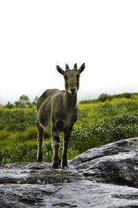 The wild goat 1