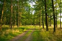 Summer forest dirt road