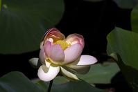 Lotus Blossoms 7