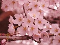 cherry blossoms 5