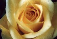 Yellow Rose 2