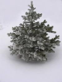 fir (-tree)