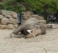 Resting Elephant 1