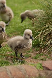 Natural Life - ducks
