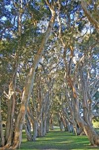 Paperbark Tree Lane