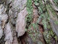 green tree bark