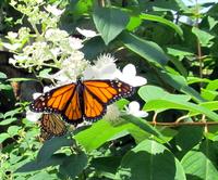 Butterfly in the Garden