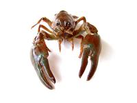crayfish 4
