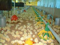 Aviculture in Brazil 1