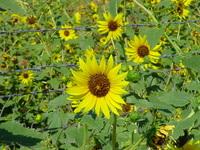 Wild Sunflowers 1