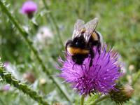 Beautiful Bumblebee