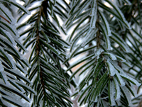 Hoarfrost on fir tree