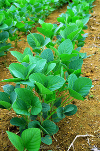 Soy beans plant 3