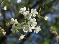 wsnia cherry flowers