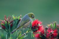 New Zealand Waxeye
