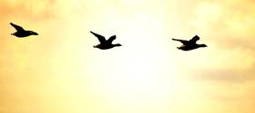 flying geese 3