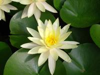 Lotus flower01
