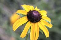 Wilting Sunflower