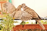 Turtledoves 1