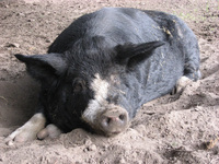 Male pig