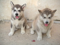 Cute malamute puppies 1