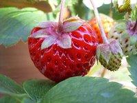 Macro Strawberry 3