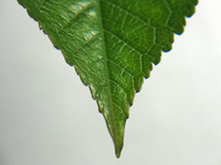 Top of leaf 1