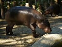 pigmy hippopotamus