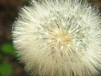 dente de leao - dandelion