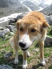 Dog at glacier in Himalayas, India 1