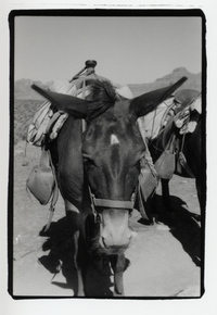 millie the mule