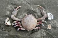 Dead Crab on Beach