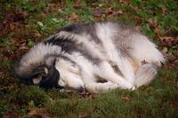 Sleeping Dog in Autumn