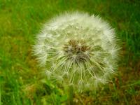 White dandelion II