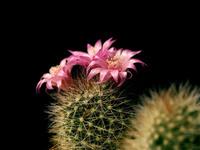 cactus black bg